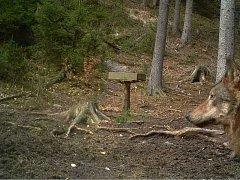 Fotopasti potvrdily přítomnost vlků v Lužických horách.