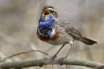 Na tzv. Shnilých loukách můžeme zaslechnout zpěv drobného slavíka modráčka.