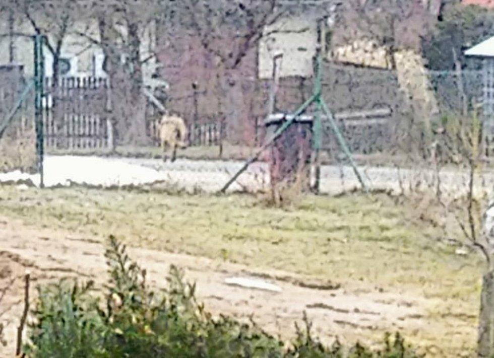 Vlk v Janově (foceno na mobilní telefon)