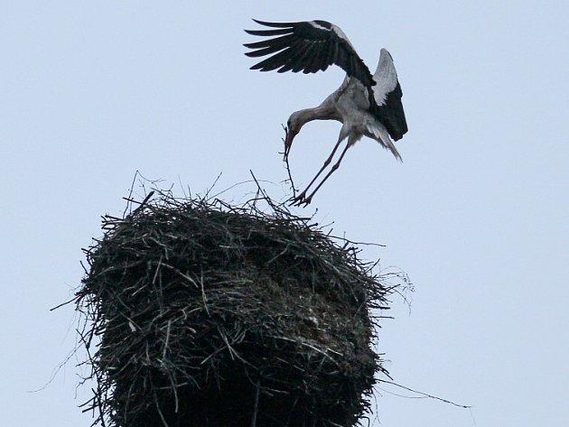Život na čapích hnízdech po celé zemi mapuje pomocí desítek dobrovolníků také server cap.birdlife.cz.