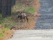 To, že prasata divoká jsou běžnou součástí vlčího jídelníčku, dokládá zářijová fotografie vlka nesoucího sele přímo z oblasti Kokořínska.