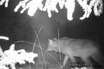 Jak by se mohl jmenovat vlk, kterého zachytila fotopast v národní přírodní rezervaci Břehyně-Pecopala?