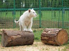 V Zooparku v Doksech chovají mimo jiné i bílé lvy.