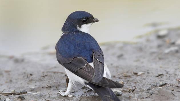 Na zem jiřičky slétají zpravidla jen tehdy, když sbírají bláto pro stavbu hnízda.