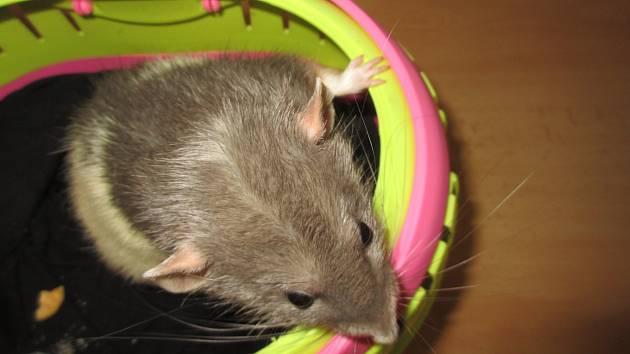 Mezi zvířecími miláčky uspěl i potkan Fred.