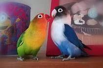 První místo spočtem 6 hlasů získali nádherně barevní ptačí miláčci Duo Agapornis, chovatelka Nelinka Štveráčková.