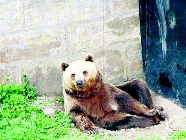 Medvěd na Zámku vZákupech.