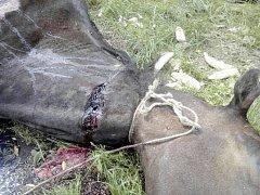 Utýraný kůň v Kravařích z května 2015.