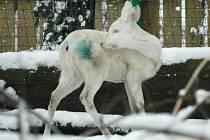Skoro jednoroční bílá srnka, pravého albína, si v děčínské zoo pomalu zvyká. Společnost jí dělají další dvě srnky klasického zbarvení.