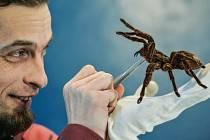 Exponát pavoukária představuje zoolog Lukáš Blažej.