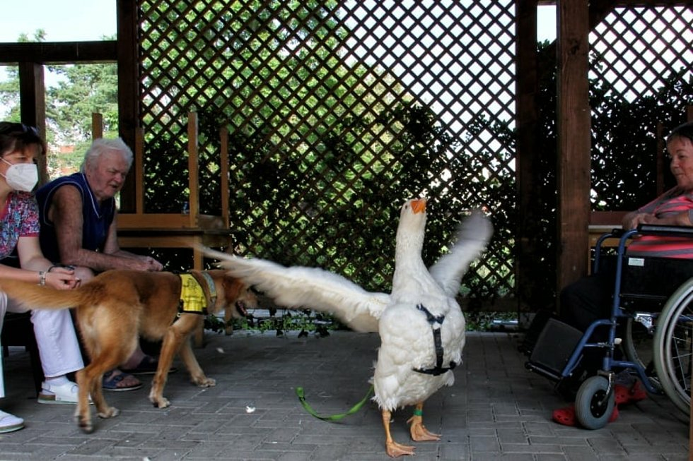 O euforii seniorů se v Mimoni postaral ochočený houser a kozy.