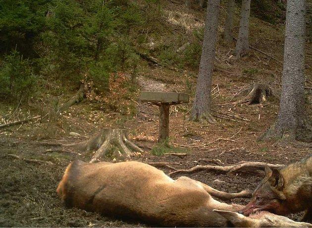 Fotopasti potvrdily přítomnost vlků vLužických horách.