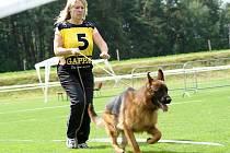 O víkendu se ve Cvikově posuzovali nejlepší němečtí ovčáci. Soutěžilo se například v kategorii veterán, štěně nebo v obraně.