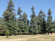 Cedrový les