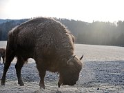 Největší přežvýkavec Evropy bude možná žít v Ralsku ve zcela volné přírodě. Lidé se bát nemusí, zvíře je plaché, nevyhledává lidskou společnost a vyhýbá se hlavním cestám.