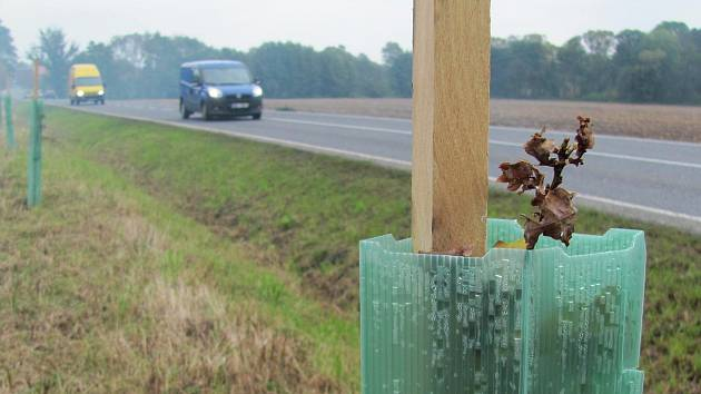 Čerstvě vysazený dub podél silnice I/15 na příjezdu do Kravař ve směru od Stvolínek.