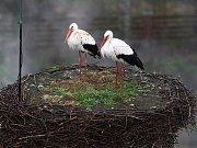 Nejstarším čapím hnízdem v celé republice se mohou pochlubit v Jablonném v Podještědí. Čápi se tu zabydleli již v roce 1864. A i letos se ptačí párek vrátil.