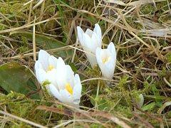 Na Slunečné už zase kvetou vzácné šafrány.