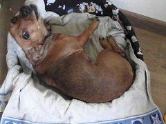 Zraněný pes Majda.