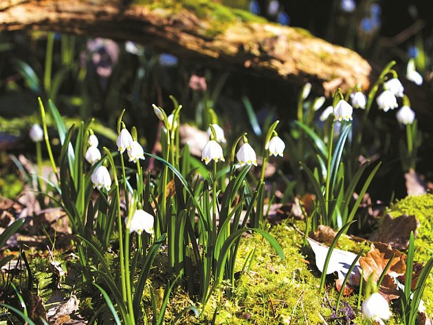 V údolí Robečského potoka rozkvetly tisíce bledulí.