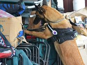 Zachráněná zvířata, která se dvouleté feně belgického ovčáka podařilo minulý týden vyčmuchat na hranicích Brazaville v Kintele.