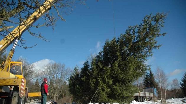 Kácení vánočního stromu pro Národní divadlo