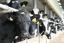 ZOD má kromě chovu krůt i vlastní prodejnu masa v Brništi, stádo černých krav a polnosti.