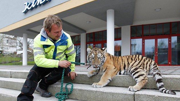 Tygr ze Zooparku Berousek v Doksech, ilustrační foto.