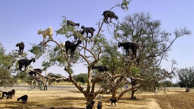 Při jedné dovolené v Africe jsme narazili na zvláštní druh kozy.