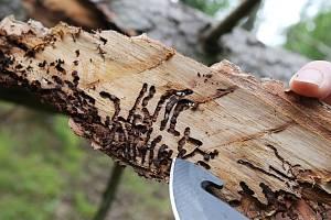 Ilustrační snímek. Smrkové dřevo napadené kůrovcem.
