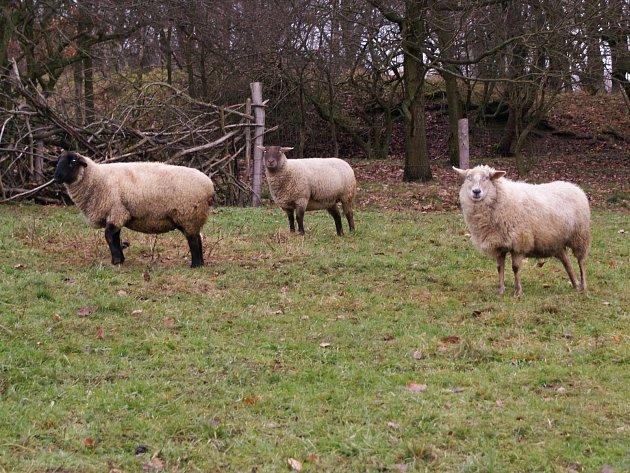 O několik jehňat a kozu přišel Martin Líman z Bezdězu kvůli vlkům.
