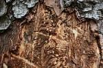 Kůrovcová kalamita v Lužických horách.