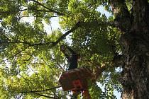 Třicetimetrový topol černý na sídlišti Sever je starý mezi 140 až 170 lety. Tyto stromy se v průměru dožívají 150 let.