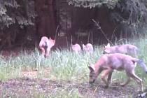 Smečka vlků v Máchově kraji se rozrostla i v letošním roce o další čtyři mláďata.