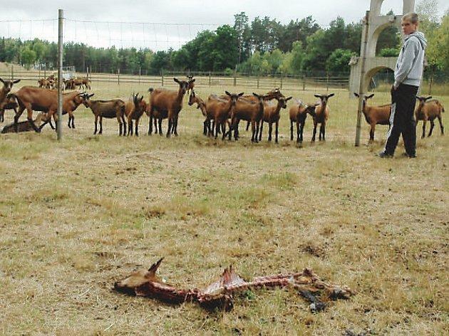 Zbytky zvířete v letním výběhu na farmě.