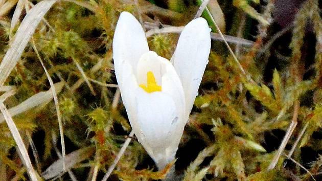 Na Farské louce na Slunečné rozkvetly vzácné šafrány.