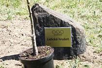 Roub takzvané lidické hrušně, památného stromu s neobvyklým osudem, teď poputuje do Nového Boru.