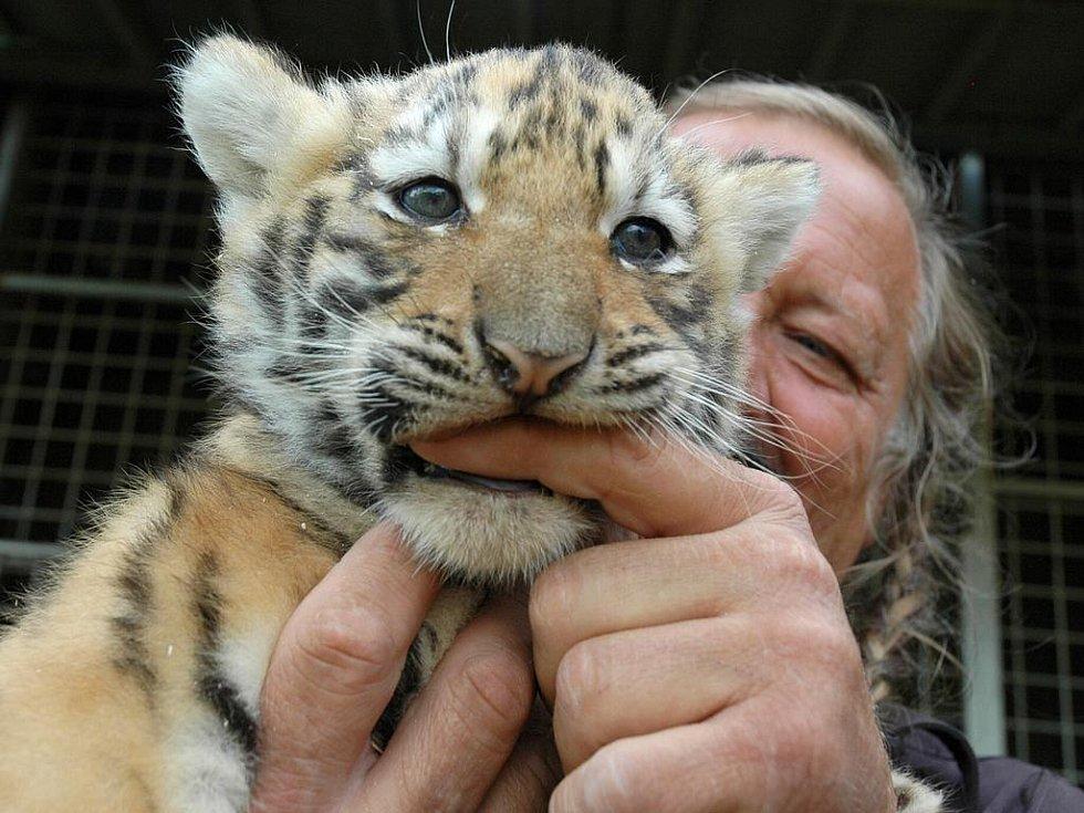 Jaromír Joo s tygřím mládětem při hostování v České Lípě