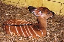 Historicky první mládě - sameček - se narodilo u nyaly nížinné.