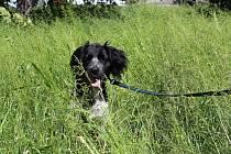 Voříšek Ben se ztrácí v bujné vegetaci na českolipském sídlišti Střed. Firma Compag zde již tři týdny neposekala.