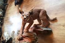 I v letošním roce českolipské muzeum rozšíří svou exotickou sbírku a expozici zvířat z celého Světa, a to o dermoplastický preparát karakala.
