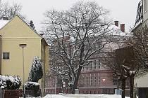 UŽ NESTOJÍ. Dub červený před ZŠ Pátova v Č. Lípě na základě posudku odborníků pokáceli.