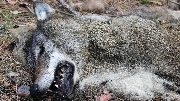 Houbař našel mrtvého vlka 6. října u Brenné.