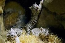 Trojčata tygrů mají za sebou první veterinární prohlídku. Zjišťovala se váha i pohlaví.