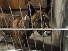 Zatoulaní psi jsou umístěni do záchytných kotců, až poté putují do útulku.