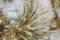 Vojenské lesy a statky již tradičně do sedmi dětských domovů na Liberecku zdarma rozvezou poslední listopadový týden borovičky, které jsou typickou dřevinou unikátní přírodní lokality.