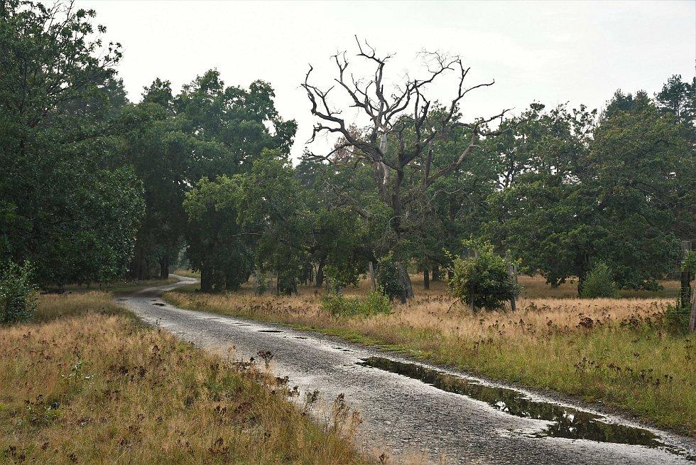 Strážov - staré duby lemují cesty v osadě.