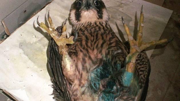 Zatím neznámý pachatel sestřelil ve Volfarticích chráněného sokola stěhovavého. Zvíře na v důsledku masivního krvácení křídla, břicha a hrudi po pár dnech uhynulo.