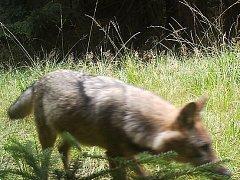 Snímek vyfotila fotopast v národní přírodní rezervaci Břehyně Pecopala 27. září 2015. Smečka se opět rozrostla nejméně o dvě mláďata.
