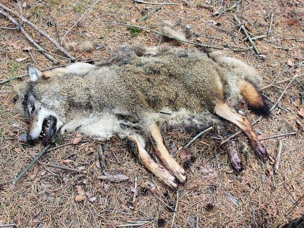 Zhlubokých lesů uobce Brenná na Českolipsku přišla 6.října smutná zpráva. Náhodný houbař na místě našel tělo uhynulého vlka.
